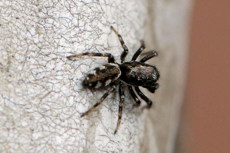 Salticidae: Salticus sp.
