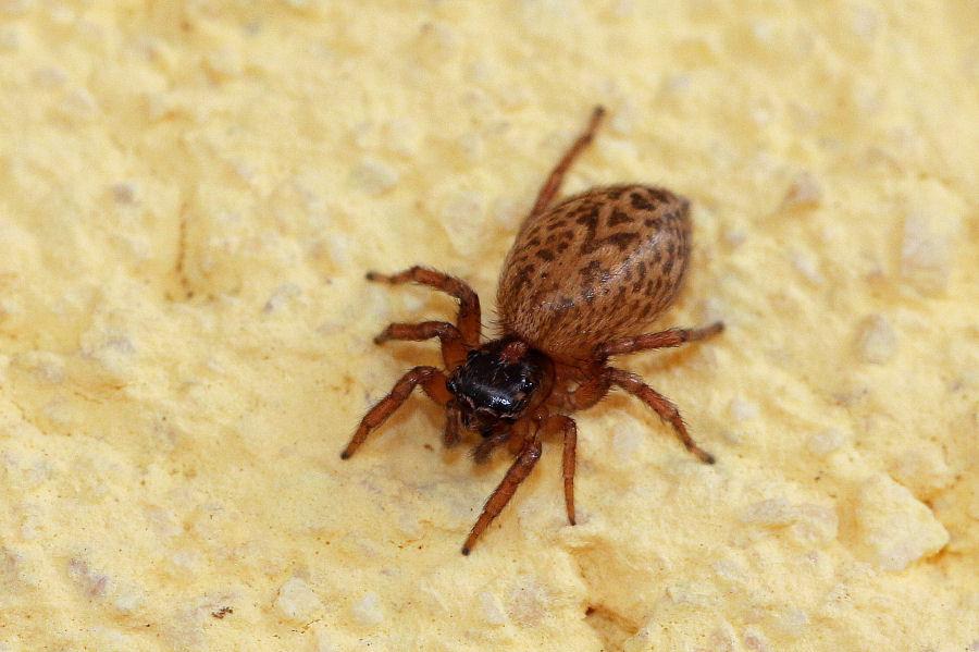 Salticidae: Saitis barbipes,  femmina - Castel Maggiore (BO)