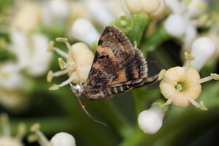 Crambidae: Aporodes floralis ?  Sì !