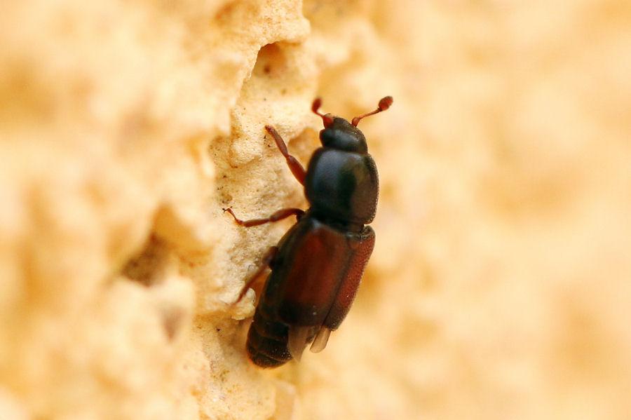 Nitidulidae: Urophorus rubripennis (cfr.)
