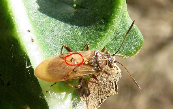 Da Creta:  un  Miridae?   No, Rhopalidae:   Liorhyssus hyalinus