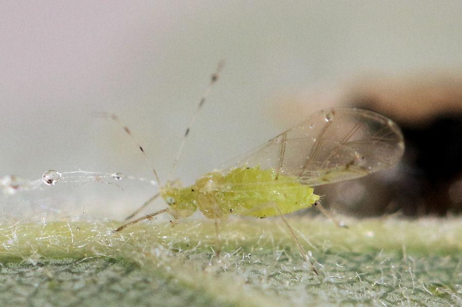 Quercia infestata da Aphididae