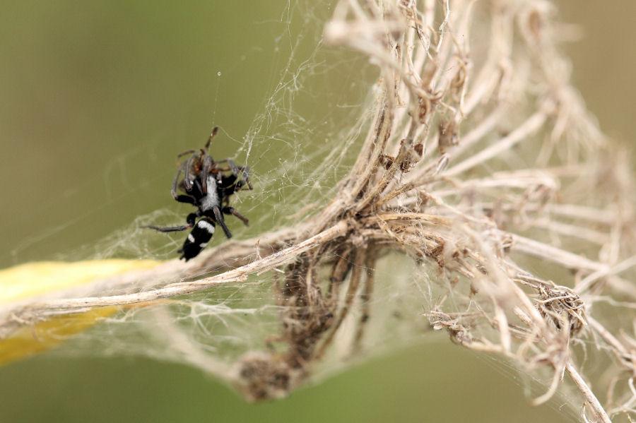 Gnaphosidae vs Theridiidae:Aphantaulax sp.-Parasteatoda tepidariorum - prov. BO