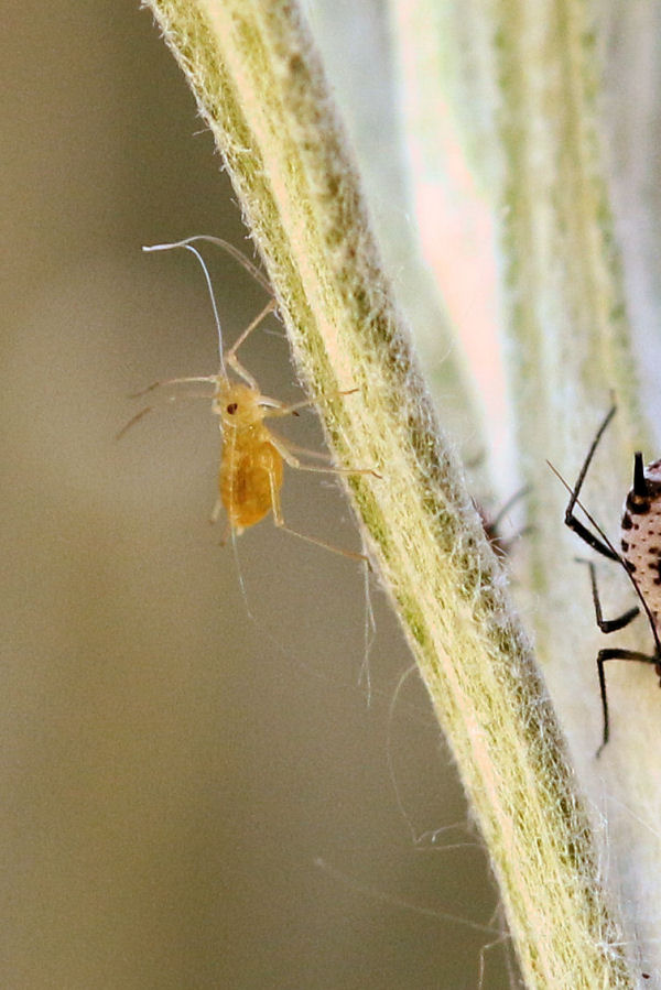 Quali afidi su Elicriso italico? Macrosiphoniella absinthii