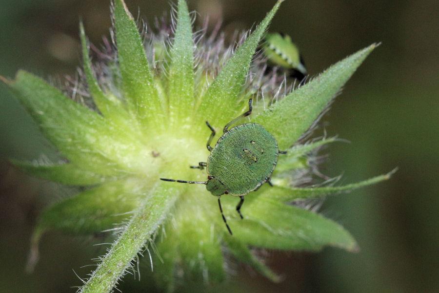 Pentatomidae: neanidi di Palomena sp.