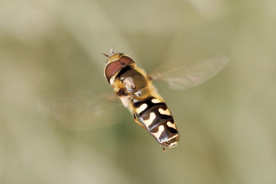 Syrphidae: Scaeva pyrastri ?   Sì !