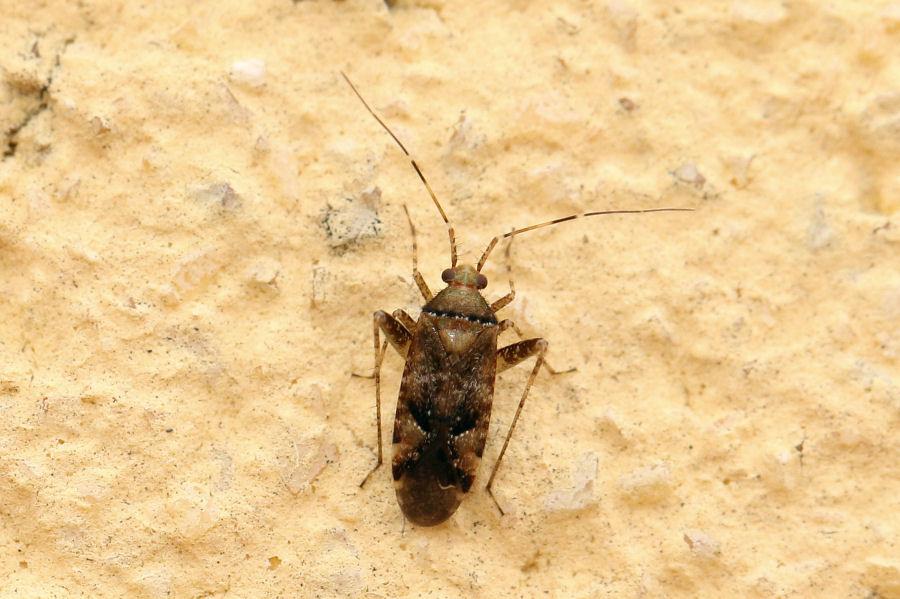 Miridae: un altro Phytocoris parvulus ?  Sì !