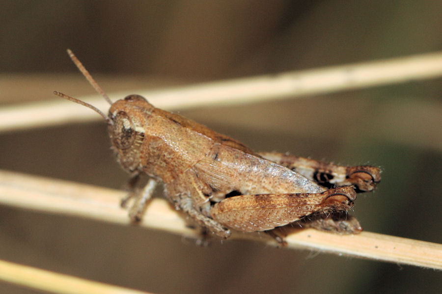 Acrididae: Pezotettix giornae?  Sì !