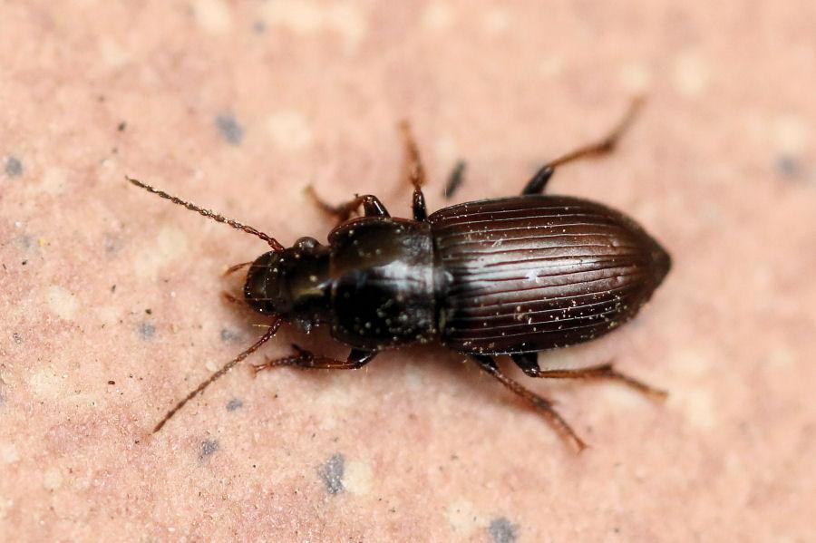 Carabidae Harpalinae da id.: Harpalus pygmaeus