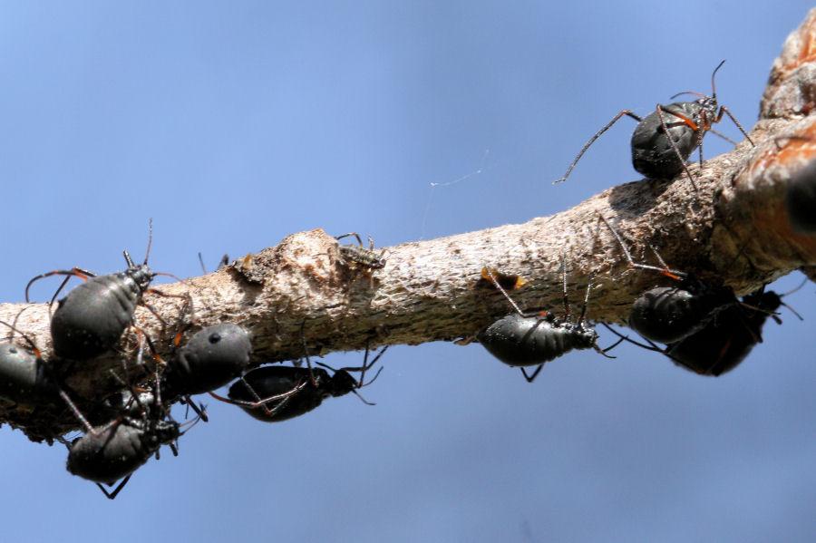 Afidi neri giganti: Lachnus roboris?