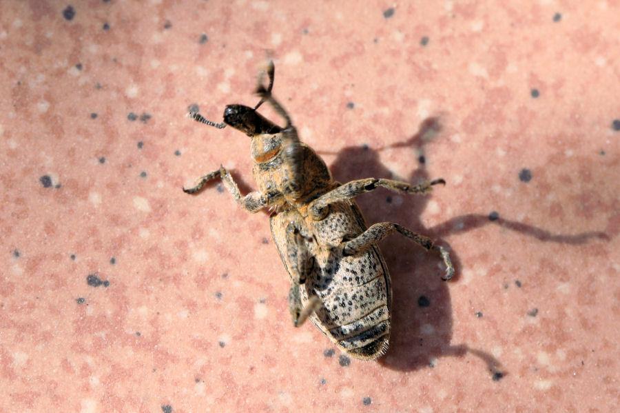 Curculionidae: Mecaspis alternans ?  Sì !