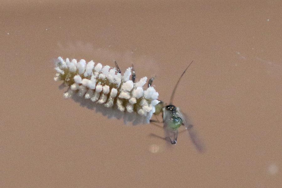 Coccinellidae: Cryptolaemus montrouzeri? No, Scymnus sp.