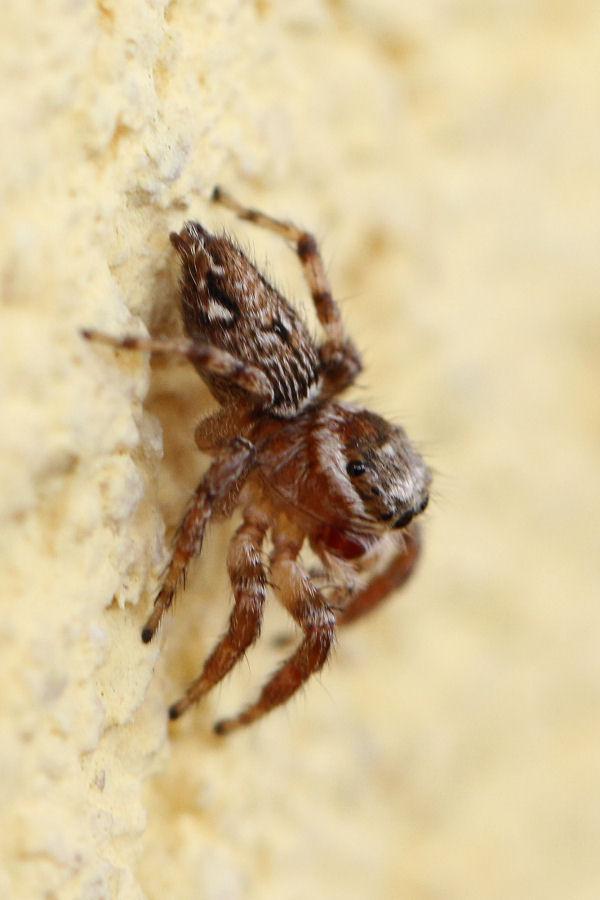 Salticidae: Hasarius adansonii? No, Evarcha jucunda - Castel Maggiore (BO)