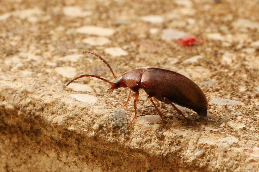 Meloidae? No, Tenebrionidae Alleculinae: Isomira sp.