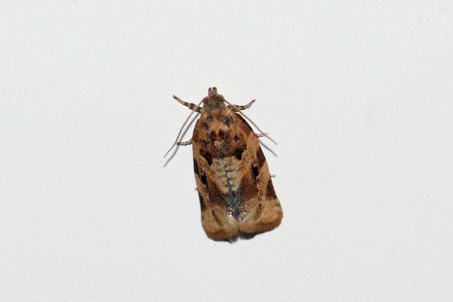 Tortricidae: Argyrotaenia ljungiana