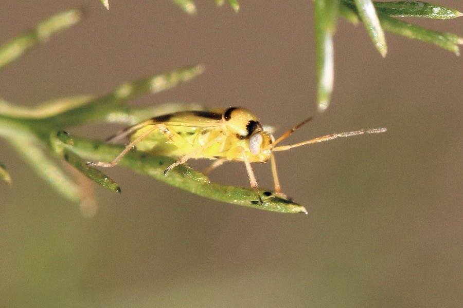Miridae: Orthops kalmii