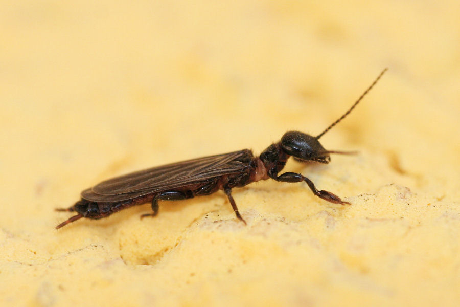 Embioptera Embiidae?