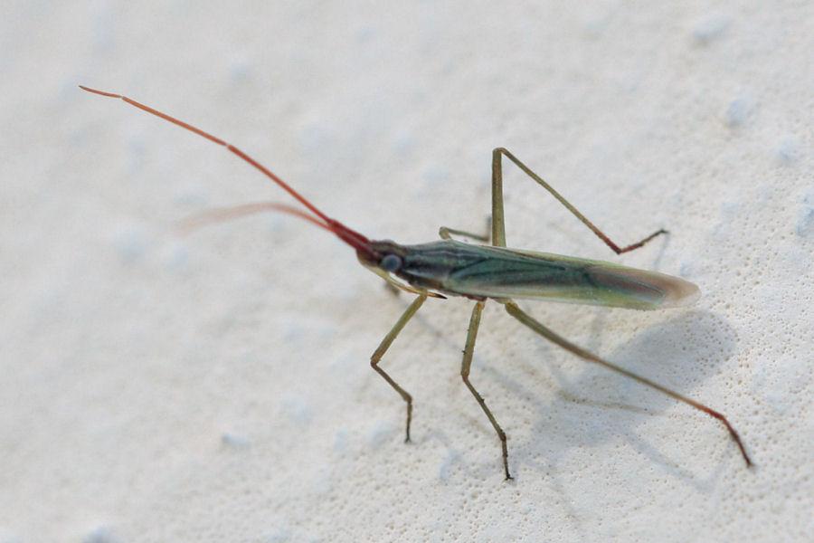 Miridae: Trigonotylus cfr. pulchellus dell''Emilia (BO)