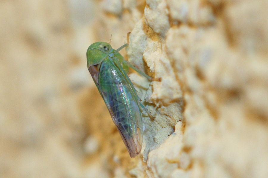 Cicadellidae: Viridicerus ustulatus