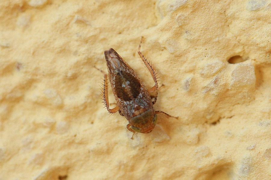 Cicadellidae invernale - Hishimonus hamatus