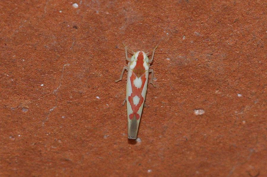 Cicadellidae Typhlocibinae: Zygina discolor