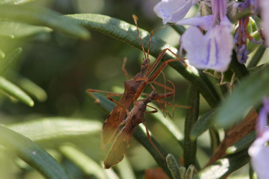 Reduviidae: Nagusta goedelii NUOVA PER L''ITALIA