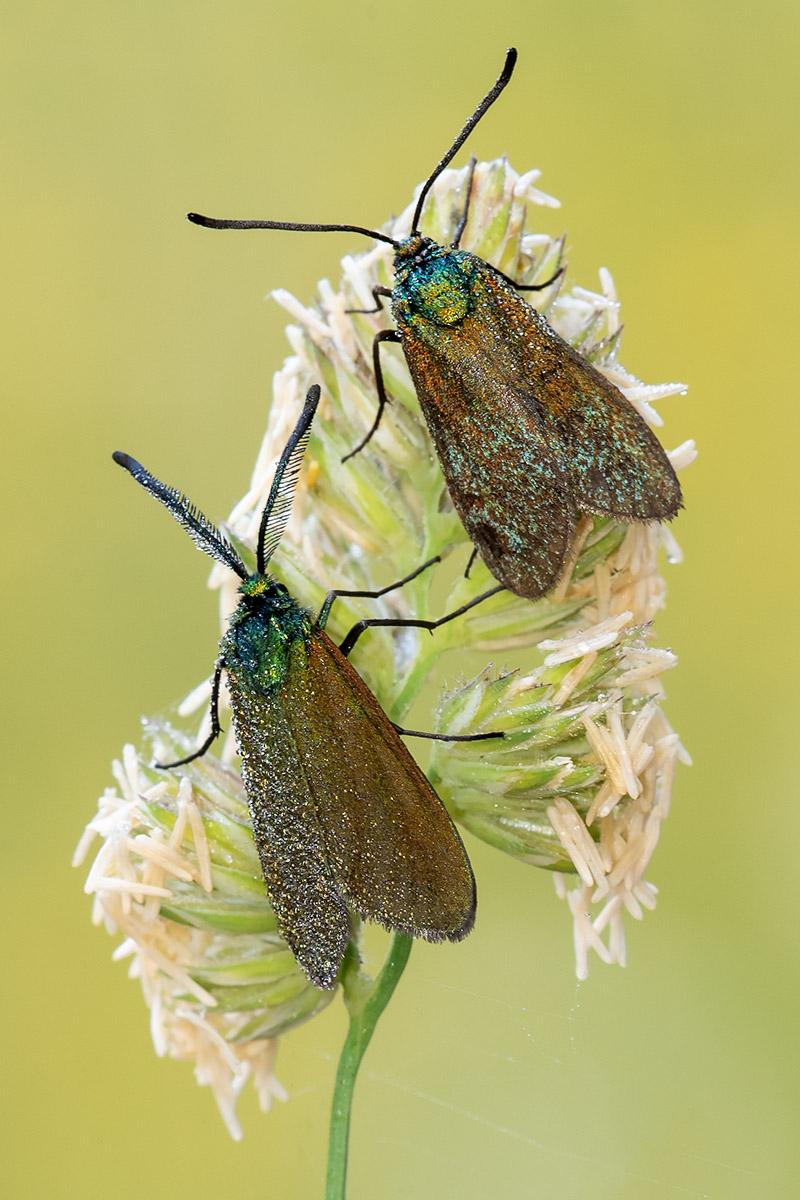 Zygenidae: Adscita sp. (m & f)