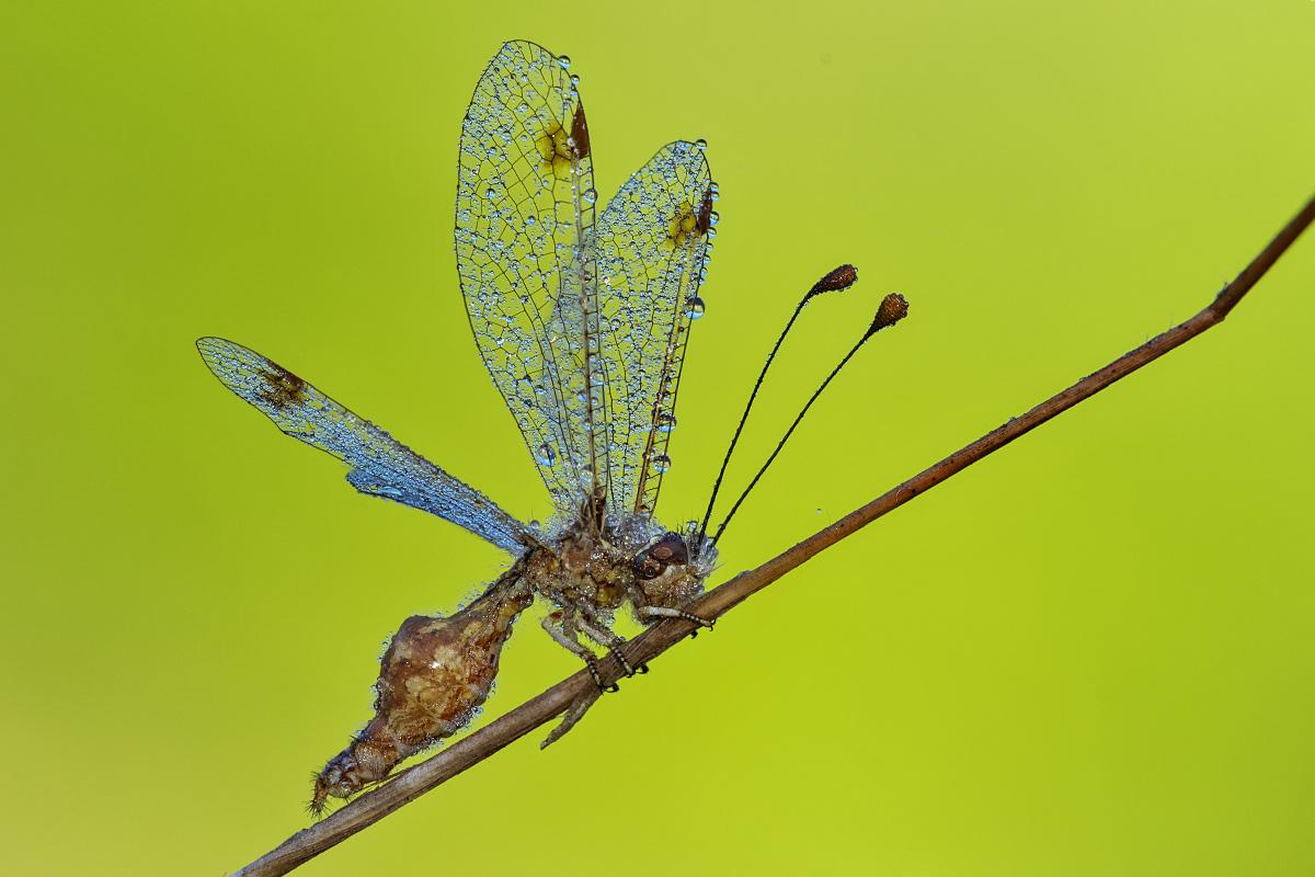 Sconosciuto - Deleproctophylla australis