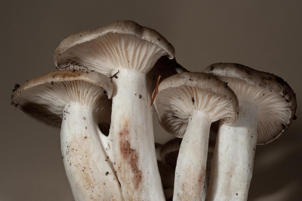 Lyophyllum decastes ?