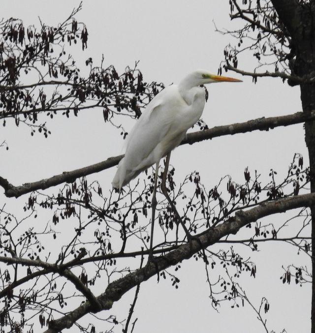 Airone Bianco Maggiore (Casmerodius albus , ex Ardea alba)