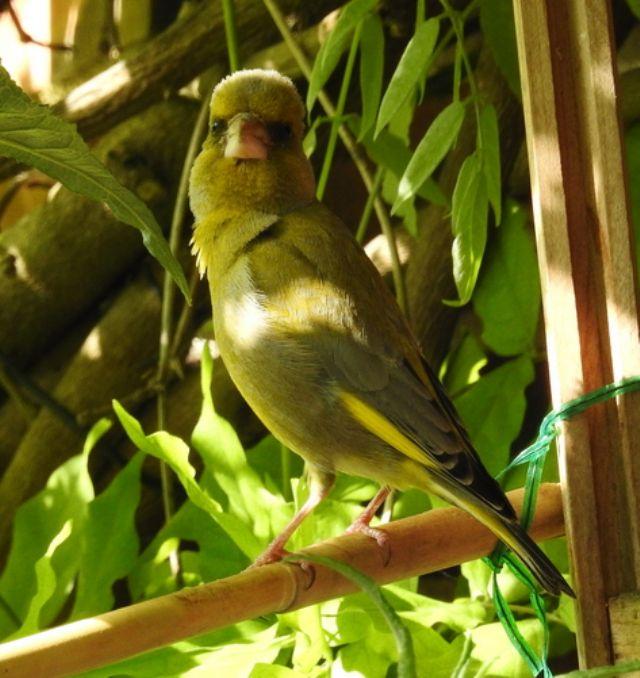 Verdone (Chloris chloris) -