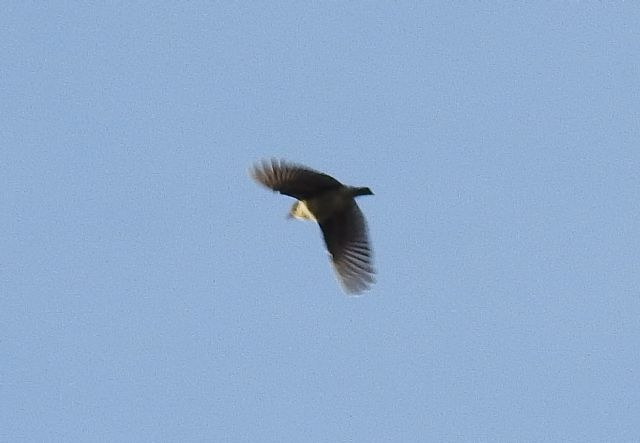 ID uccello:  Tottavilla (Lullula arborea)