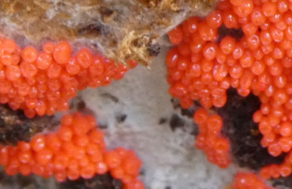 non so cosa sia:   Nectria sp. ?