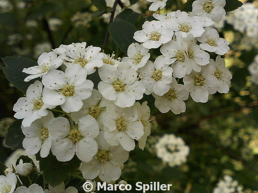 arbusto fiorito da determinare spiraea crenata natura