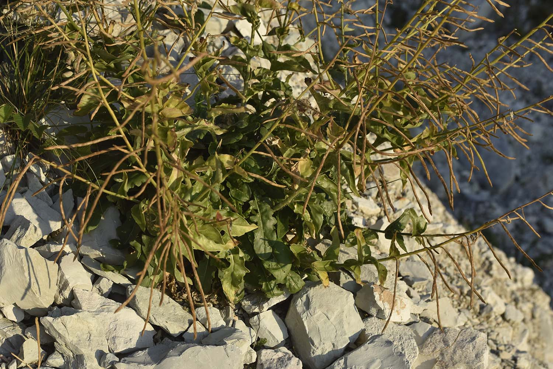 Brassica gravinae