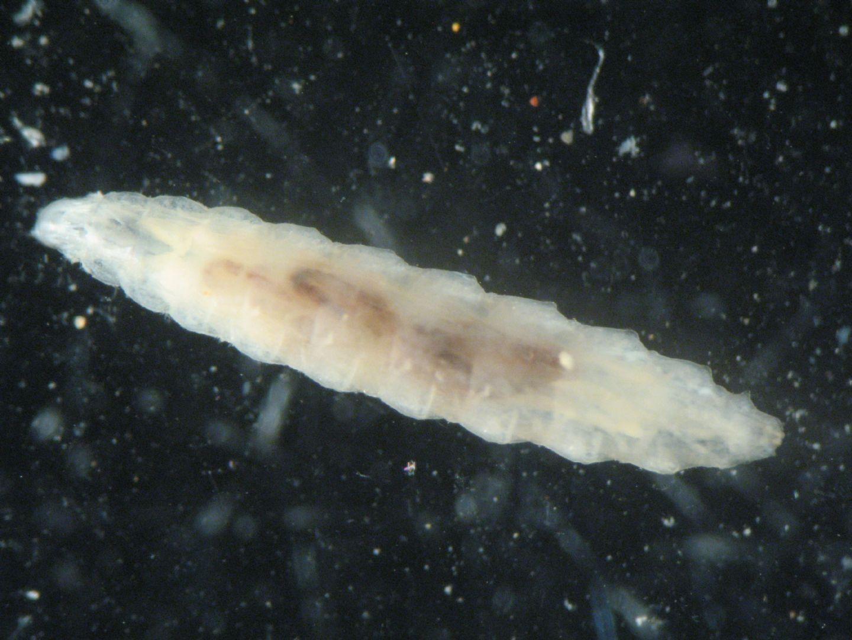 larva di dittero da id
