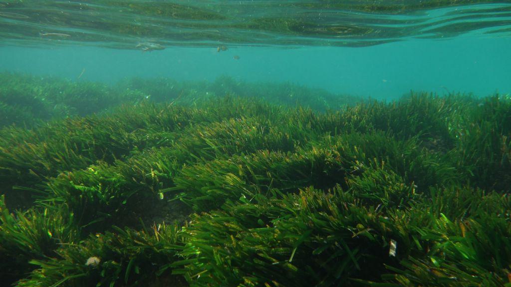 Fioritura e fruttificazione Posidonia oceanica