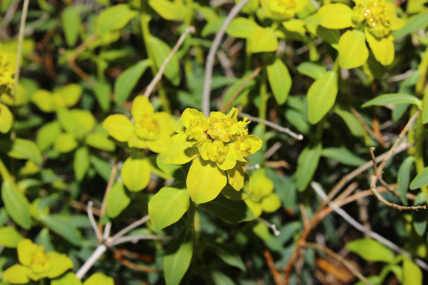 Euphorbia verrucosa (=E. brittingeri )/ Euforbia verrucosa