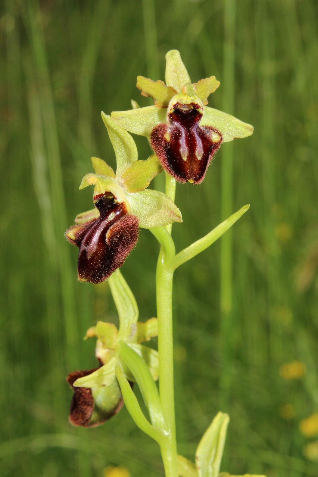 Orchidee varie prov. Cuneo e savona