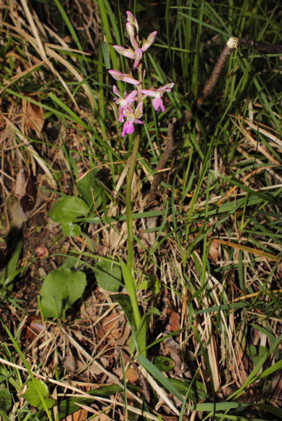 Orchis xligustica