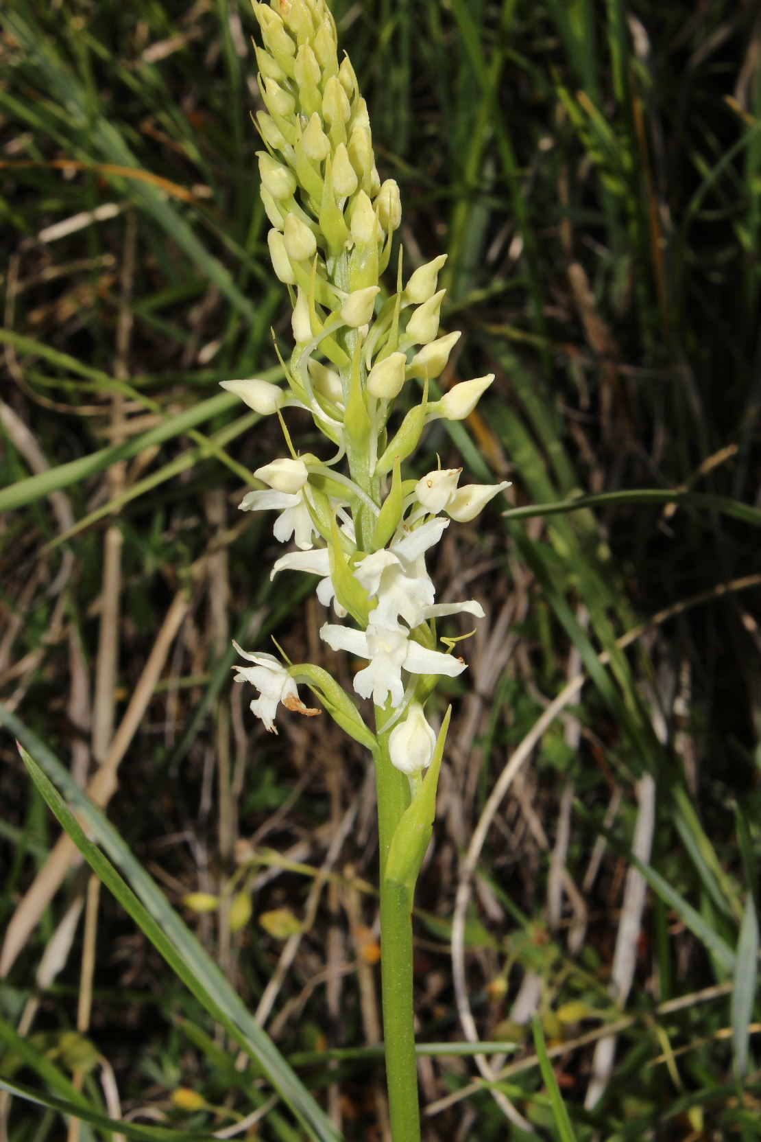 Orchidee Alpi Cuneesi