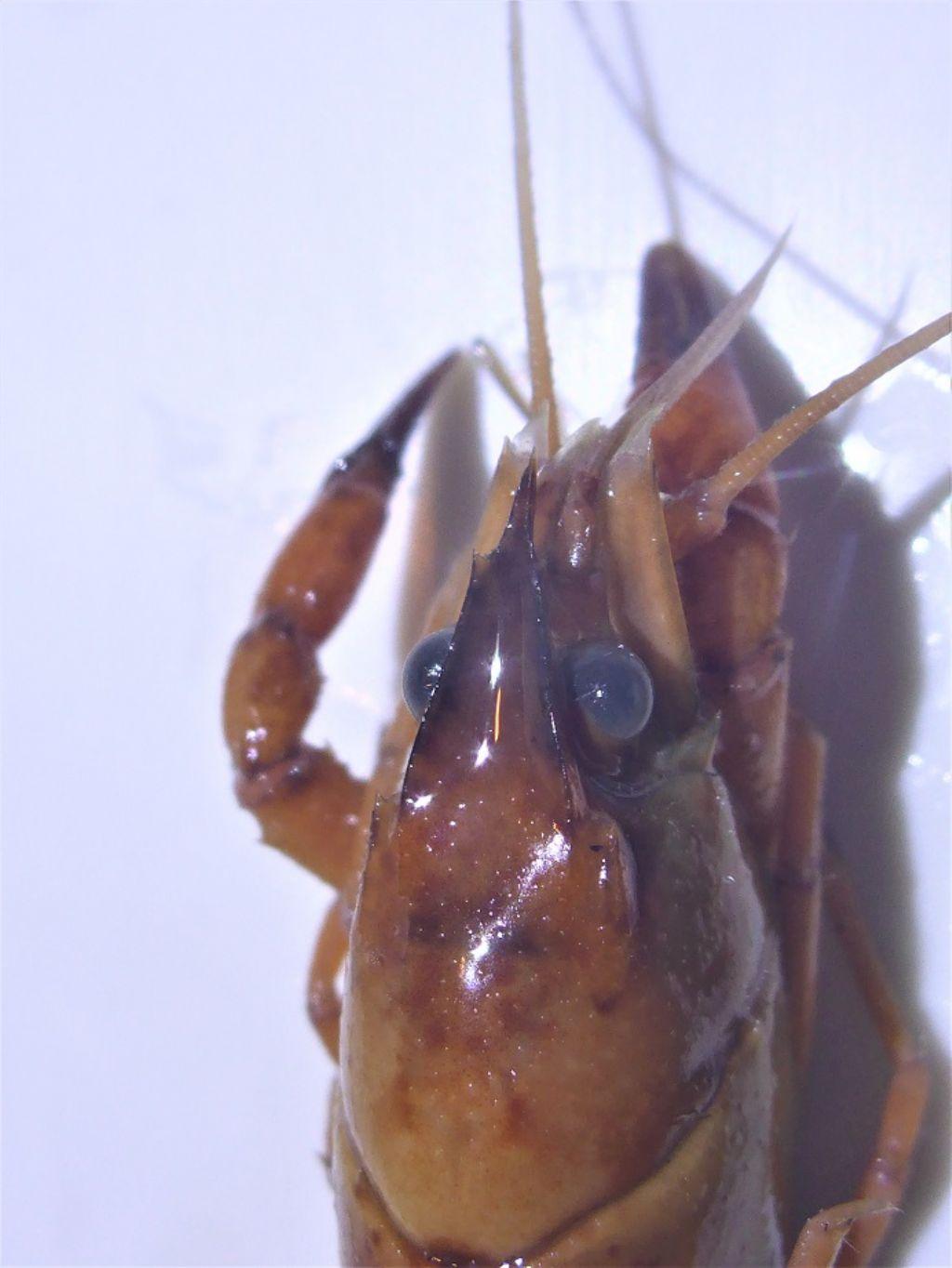 Gambero del Mississipi - Procambarus???