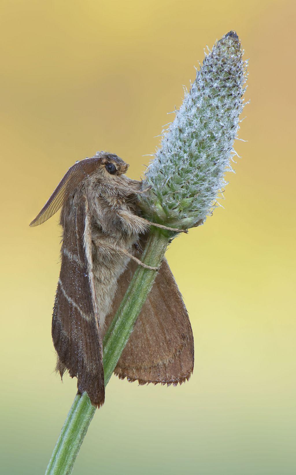 Macrothylacia rubi, maschio - Lasiocampidae