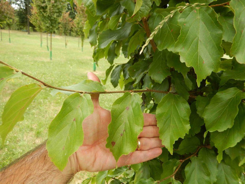 cv di Fagus sylvatica ? no Parrotia persica (Hamamelidaceae)