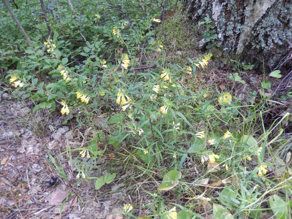 fiore pineta - Melampyrum sylvaticum