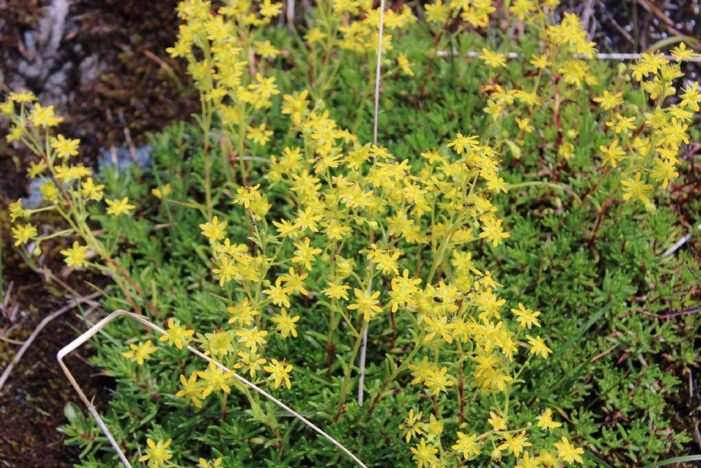 Fiorellino giallo: Saxifraga aizoides