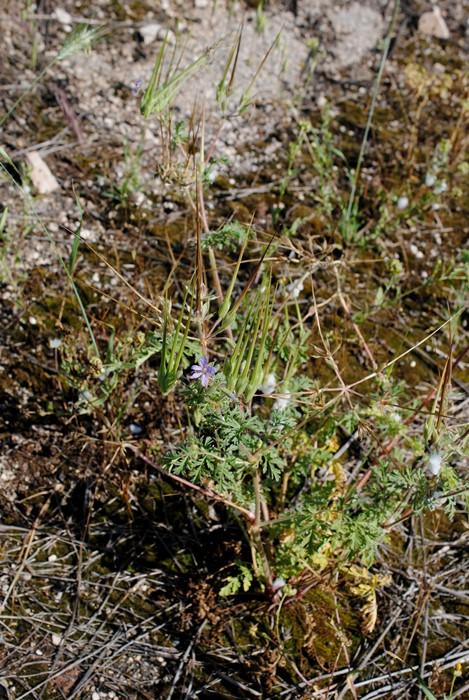 Erodium ciconium / Becco di grù maggiore