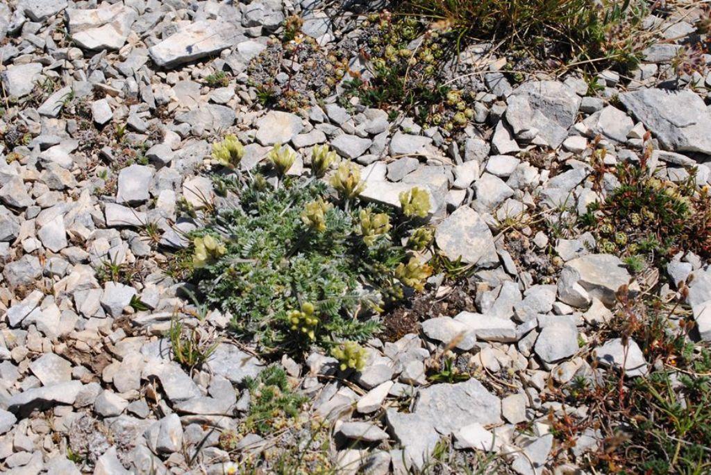 Oxytropis campestris (Fabaceae)?  Sì !