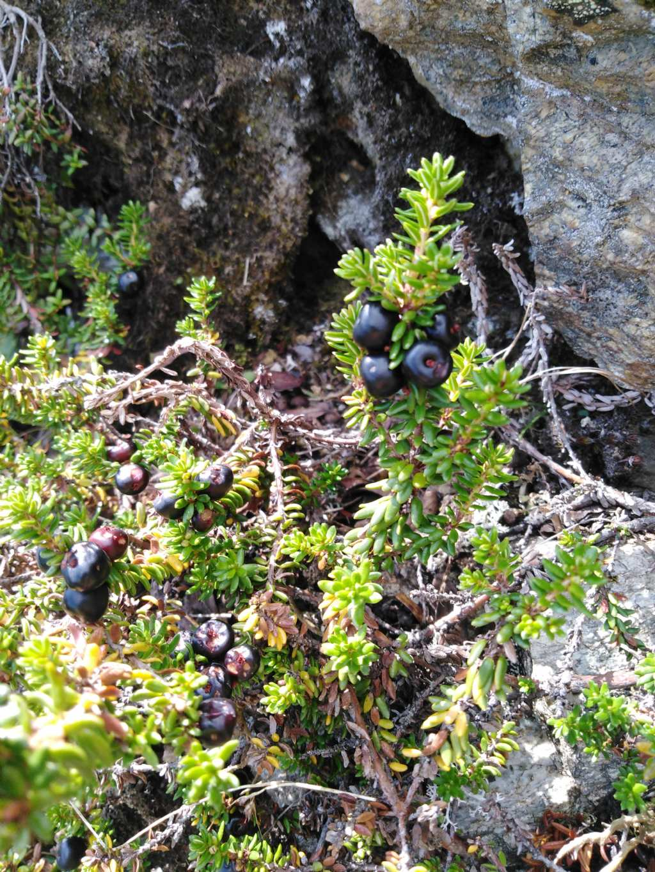 Empetrum nigrum s.l. (Ericaceae)