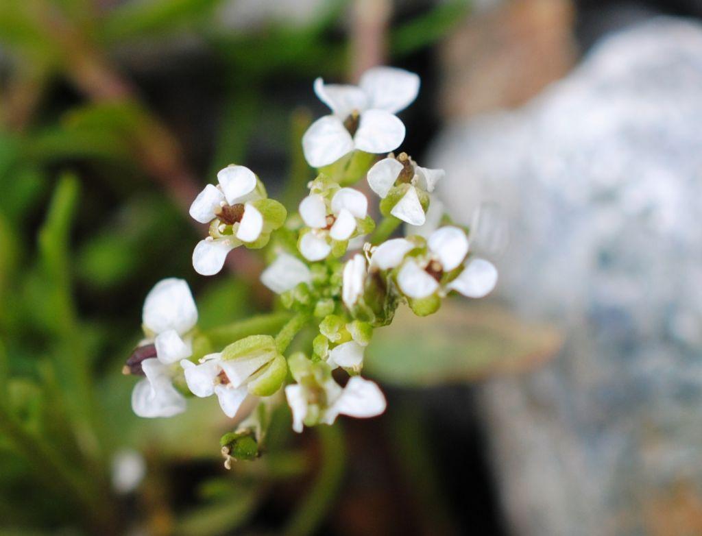 Piccola Brassicacea?